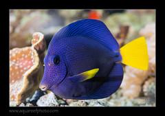 FRANxanthurum1054_160612 (kactusficus) Tags: marine reef aquarium francis surgeonfish acantturidae tang chirurgien zebrasoma xanthurum blue redsea merrouge
