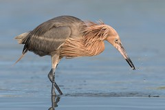 Appetizer (Melis J) Tags: bird egrets florida reddishegret birdwithprey birdwithfish hunting birdinwater threatenedspecies