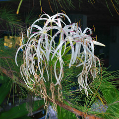 Key West (Florida) Trip 2015 0520Ri sq (edgarandron - Busy!) Tags: florida keys floridakeys keywest higgsbeach keywestgardenclub westmartellotower flower flowers spiderlily