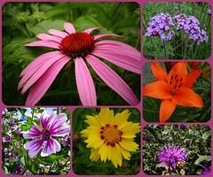 Des fleurs en t<>Summer flowers. (France-) Tags: fleur flowers collage bc canada rose violet jaune yellow pink nature