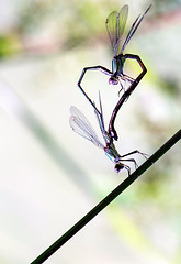 love is in the air (Danyel B. Photography) Tags: dragonfly damsel libelle paarung love insect insekt macro makro close nah bokeh vivitar 135mm