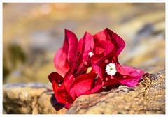 DSC_2913 (KWinters Photography) Tags: flower closeup macro water stream pink flickr nikon nikkor d7200 outdoor