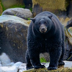She Who Rules taking a rest from chasing salmon (Blingsister) Tags: americanblackbear blackbear largefemaleblackbear bear blingsister melanieleesonwildlifephotography canon7dmarkii canonef100400mmf4556lisiiusm14xiii northernvancouverisland