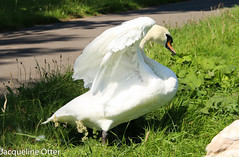 swan (jacqy85) Tags: swan zwanen