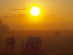 pferde und sonneP8280303 (hans 1960) Tags: sun sunrise morgen sonne somnner sonnenaufgang sol soleil atardecer licht light golden farben colours horses pferde himmel sky august weide nature natur
