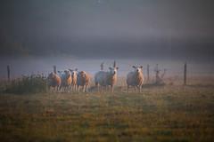 boerderij Heijerhof te Baexem Heijerhof (Charlotte Heynen - www.studiofotozo.nl) Tags: boerderij schapen biologisch natuur wei vrijheid dieren outdoor farm freedom sheep animals
