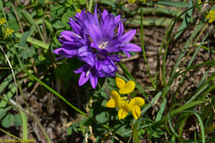 Campanule agglomérée (Campanula glomerata) et Lotier des Alpes (Lotus alpinus) (Annelise LE BIAN) Tags: fleursetplantes leysin suisse jaune lotier mauve vaud ch campanuleagglomérée lotierdesalpes explore
