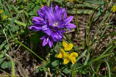 Campanule agglomre (Campanula glomerata) et Lotier des Alpes (Lotus alpinus) (TICHAT10) Tags: fleursetplantes leysin suisse jaune lotier mauve vaud ch campanuleagglomre lotierdesalpes explore