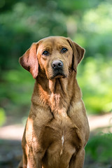 Dog Photography by Gerry Slade-1682 (Photography By Gerry Slade) Tags: dogphotographer gerryslade wwwgerrysladecouk red lab labrador