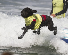 IMG_6706 (San Diego Shooter) Tags: dog dogs portrait sandiego dogsurfing surfer surfing