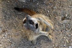 suricata suricatta (Joachim S. Mller) Tags: erdmnnchen suricatasuricatta suricata suricate meerkat meerkats sugetier mammal tier animal zoo zookarlsruhe karlsruhe badenwrttemberg deutschland germany