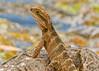 Water dragon (Daniela Parra F.) Tags: wild wildlife wetlands aquaticlife animal animales outdoors botanicalgardens goldcoast queensland australia australianwildlife waterdragon reptiles lizard