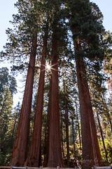Sequioa (binzhongli) Tags: sequoianationalpark nationalpark canon6d nature tree sequoia outdoor