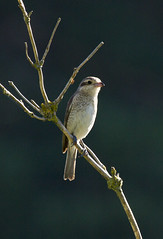 Red-backed Shrike (juvenile?) (christopheradler) Tags: germany redbacked shrike lanius collurio