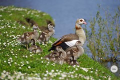 #duck #bird #nature #Green #pentax #bokeh #parc #travelphotography #instagram #nature (adil_benchekroun) Tags: duck bird nature green pentax bokeh parc