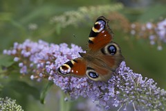 Butterfly - now named (it's a Peacock)! (Blue Rock Fox) Tags: insect insects macro butterfly buddleia buddleja nature environment colours flyinginsects wildlife