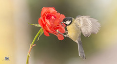 rose flight (Geert Weggen) Tags: nature animal perennial closeup cute plant funny happy summer ground bright light branch yellow bird tit titmouse flower red rose stem wing fly sweden geert weggen jmtland ragunda