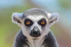Interview with a Lemur (billpeppasphotography) Tags: lemur lemurs animal wildlife monkey stare staring eye eyes nose hair fur furry ear ears bokeh interview portrait portraiture head face face2face facetoface