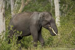 The Elephant (THASLEEM MK) Tags: elephant masinagudi forest wild animals mammals kerala india