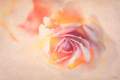 Blush (mad_ruth) Tags: roses flowers textures peach pink yellow lightbox pentax k1