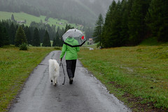 Wir sind auch wetterfest. ; ) (balu51) Tags: spaziergang regenspaziergang regen grau nass regenschirm hund kuvasz ungarischerhirtenhund weiss grn landschaft berge passstrasse wald tannen landscape mountain forest tree green grey rain rainy hiker dog enjoyingtherain umbrella latesummer grisons graubnden kunkelspass september 2016 copyrightbybalu51
