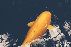 Retro styled giant carp in Kanazawa (ZKent.Yousif) Tags: yellow kanazawa kumagayashi saitamaken japan jp takasakishi gunmaken uedashi naganoken naganoshi toyamashi toyamaken kanazawashi ishikawaken streetphotography nature fish water garden