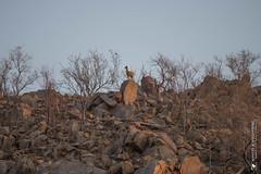 DSC_3606.JPG (manuel.schellenberg) Tags: namibia animal etosha nationalpark klippspringer