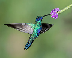 Sparkling! (Andy Morffew) Tags: sparklingvioletear hummingbird inflight hovering feeding flower tandayapabirdlodge ecuador andymorffew morffew naturethroughthelens explore explored