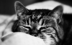 Monday Face (SpitMcGee) Tags: mondayface minou cat kater alterherr oldgentleman spitmcgee explore 290