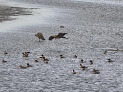 Red-breasted Mergansers plus another GBH (glenbodie) Tags: glen bodie glenbodie dncb blaine 201515 dakota redbreasted merganser great blue heron