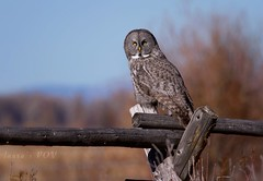 Great Gray Owl (laura's POV) Tags: owl bird greatgrayowl fence buckrailfence autumn fall season gtnp grandtetonnationalpark nationalpark wyoming jacksonhole jackson west western grosventre raptor