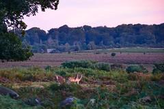 Morning Mogshade (hapsnaps) Tags: hapsnaps hampshire newforest mogshadehill 2016 autumn deer heather pink moor roedeer