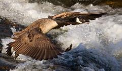 IMG_7859 Canada Goose (cmsheehyjr) Tags: cmsheehy colemansheehy nature wildlife bird goose canadagoose jamesriver richmond virginia brantacanadensis