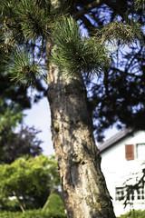 prick (mamuangsuk) Tags: prick needle pine bark greenneedle pineneedle aiguilledepin pin pinosilvestre pinetree albero arbre baum 6d 70200l mamuangsuk
