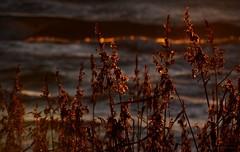 Autumn sunset (tonibjrkman) Tags: sunset hanko finland nature beach suomi europe luonto kaislat meri ranta kamera shot sininen macro kultainen 2016 syksy vrit