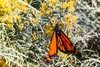 Monarch in Idaho (Joshuaww) Tags: orange yellow desert monarch black animals insect flowers thorny thorns plants macro bugs insects desaturate pretty closeup movement blur action joshuaww joshua photography