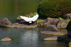 DSC_0492 (tanny ♪) Tags: city autumn green fall japan tokyo pond october furukawateien shirasagi