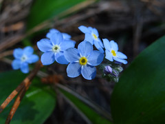 Some spring flowers, for you (Home Land & Sea) Tags: flowers blue newzealand macro spring tiny nz forgetmenot napier sonycybershot hawkesbay myosotis simplyflowers explored sooc homelandsea wharerangi dschx100v