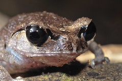 Black-Eyed Litter Frog (Steven Wong (ATKR)) Tags: its lost nikon before frog litter frogs stolen snakes lizards herps blackeyed semenyih leptobrachium d300s nigrops