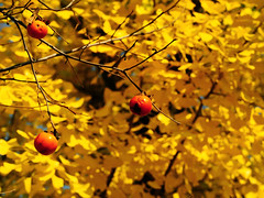 IMGP9988 (oasisframe) Tags: blue autumn trees red fall yellow fruit bluesky korea persimmon southkorea fruitful     persimmontrees koreaimage