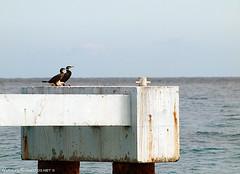 Cormorans (David-Martinelli-Photos.net) Tags: mer jetée digue méditerranée promenadedesanglais cormorans paysagesmarins