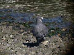 Peale's Peregrine - 2572 (Len Blumin) Tags: video peregrinefalcon falcoperegrinuspealei falcoperigrinus pealesfalcon
