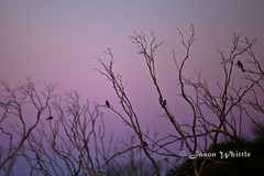 IMG_1081 (Jason Whittle Photography) Tags: sunset sky tree bird sticks wings branch branches flight wattlebird