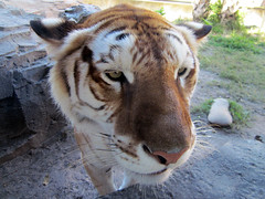 Tiger (meeko_) Tags: africa animals gardens tampa florida tiger bengal themepark buschgardens attraction busch buschgardenstampa bengaltiger buschgardensafrica buschgardenstampabay jungala