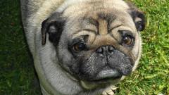 Marvin 10/11/12 (shinbonerbaz) Tags: pets dogs sony pug alpha fillflash α a350 minoltaamount minoltaaf50mm17