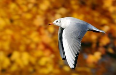 J77A0264 -- Black-headed Gull in flight an Autumn day (Nils Axel Braathen -- Thanks a lot for +200K views) Tags: france nature birds canon wildlife fugler oiseaux blackheadedgull autofocus levsinet lachmwe greatphotographers thegalaxy mouetterieuse frameit hettemke natureplus thewildlife vogeln chroicocephalusridibundus mygearandme mygearandmepremium mygearandmebronze mygearandmesilver mygearandmegold mygearandmeplatinum ringexcellence blinkagain dblringexcellence flickrbronzetrophygroup allnaturesparadise flickrstruereflection1 flickrstruereflection2 flickrstruereflection3 flickrstruereflection4 flickrstruereflection5 allofnatureswildlifelevel1 allofnatureswildlifelevel2 allofnatureswildlifelevel3 rememberthatmomentlevel4 rememberthatmomentlevel1 magicmomentsinyourlifelevel2 magicmomentsinyourlifelevel1 rememberthatmomentlevel2 rememberthatmomentlevel3 rememberthatmomentlevel5 rememberthatmomentlevel6 vigilantphotographersunite vpu2 vpu3 vpu4 vpu5 vpu6 vpu7 vpu8 vpu9 vpu10 frameitlevel3 frameitlevel2 frameitlevel4 frameitlevel5 frameitlevel6 frameitlevel7 frameitlevel8 frameitlevel9 frameitlevel10