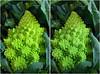 Roman cauliflower (Romanesco broccoli) (anobjectn) Tags: flowers urban plants stereoscopic stereophotography 3d crosseye display broccoli vegetable cauliflower albany handheld coop chacha albanyny 3dimensional crossview crosseyedstereo 3dphotography romancauliflower 3dstereo honestweightfoodcoop