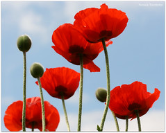 Lest We Forget ! (Steve Major) Tags: poppy remembrance lestweforget stevemajor canonef100mmf28macro flowersarebeautiful platinumheartaward flickraward doublefantasy flickraward5