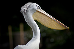 Great White Pelican A (larryn2009) Tags: california white bird fall animal yellow zoo sandiego unitedstatesofamerica september 2012 pelecanusonocrotalus sandiegocounty greatwhitepelican sandiegosafaripark