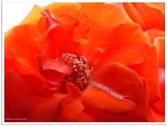 Feuerrose - fire rose